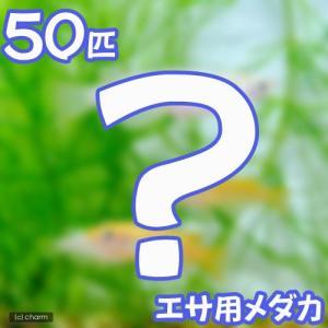 (めだか)生餌 エサ用メダカ/えさ用めだか(50匹) chanet