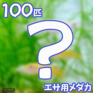 (めだか)生餌 エサ用メダカ/えさ用めだか(100匹) chanet