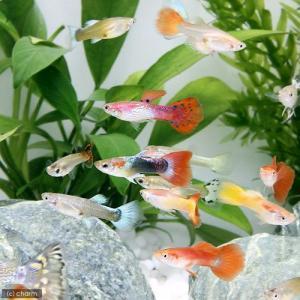 チャームでも人気の高いイチオシ熱帯魚です。タイ、スリランカ産のミックスグッピーです。ダブルソードテー...