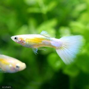 メーカー:■25〜30 メーカー品番: 熱帯魚・エビ他 グッピー 系統で選ぶ ゴールデン系 ゴールデ...