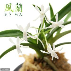 緑の宝石 富貴蘭 フウランは日本、中国、朝鮮半島原産の樹木などの上に着生するラン植物です。フウキラン...