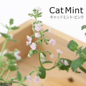 (観葉植物)ハーブ苗 ミント キャットミント ピンク 3号(1ポット) 家庭菜園|chanet