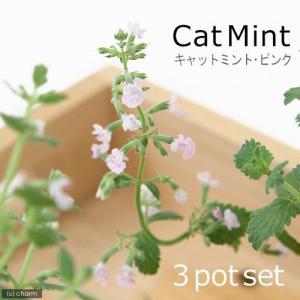 (観葉)ハーブ苗 ミント キャットミント ピンク 3号(お買い得3ポットセット) 家庭菜園