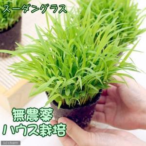 (観葉植物)スーダングラス 猫草 ネコちゃんの草 直径8cm...