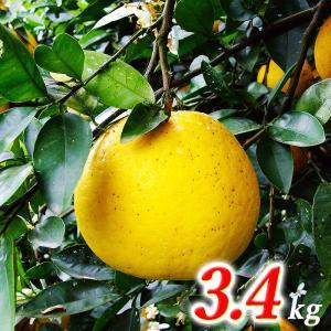 ★「美生柑(みしょうかん)」(夏ぶんたん) 約3.5kg★別名:河内晩柑・サウスオレンジ・宇和ゴールド