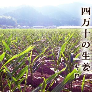 送料無料 四万十の「しょうが(生姜)」 約1キロ 高知県四万十町産 日本一の産地から