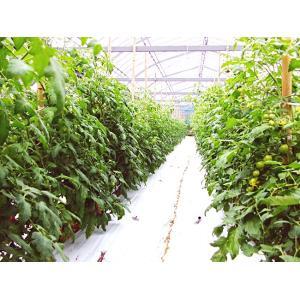 杉本さんの「有機栽培トマト」 約1キロ 無農薬 高知県大豊町産 ご家庭用 お届けにお時間をいただく場合がございます|chokuhan|04