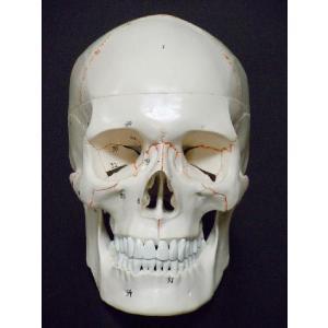 頭蓋骨模型 スカル ドクロ 人体模型 骨格 骨 ヒューマンスカル|chokusou-orosi