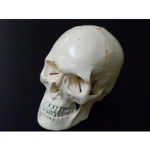 頭蓋骨模型 スカル ドクロ 人体模型 骨格 骨 ヒューマンスカル|chokusou-orosi|02