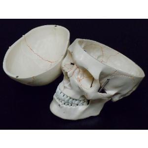 頭蓋骨模型 スカル ドクロ 人体模型 骨格 骨 ヒューマンスカル|chokusou-orosi|03