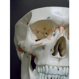頭蓋骨模型 スカル ドクロ 人体模型 骨格 骨 ヒューマンスカル|chokusou-orosi|04