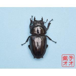 【WK】 単品 能勢YG血統オオクワガタ55.3ミリ♀ wk1803241551