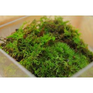 苔のテラリウム「コケリウム」キューブケース苔山の世界NO.7|clips-yj