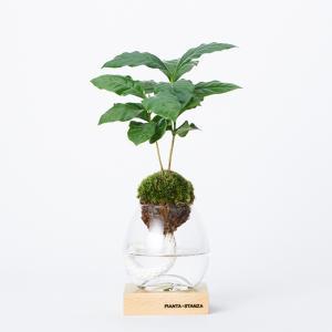 PIANTA×STANZA(ピアンタスタンツァ) トーチ S 苔玉のみ コーヒーの木 clubestashop