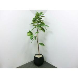 人工観葉植物 フェイクグリーン フィカス系 斑入り H1900 / モデルルーム展示品|correr