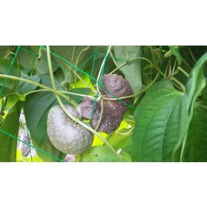 ムカゴ 野菜 種芋 宇宙いも エアーポテト  500g 送料無料