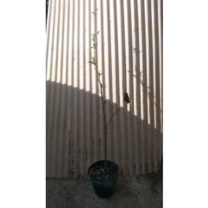 ハナモモ 花桃 苗 苗木 植木 4号ポット 高さ70cm前後...
