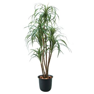 光触媒観葉樹木 ドラセラマゼンダ  高さ170cm|crescent
