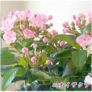 におい桜(ニオイザクラ)ルクリア 鉢植えかご付 ピンクの可愛い桜のような花で香りのよい花 ギフトや誕...