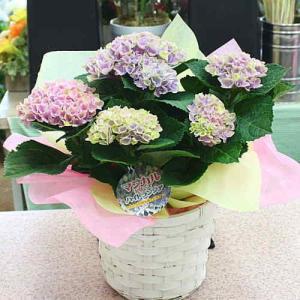 アジサイ鉢植え 「マジカルレボリューション」5号鉢植え オランダで改良された色の変わるユニークな品種...