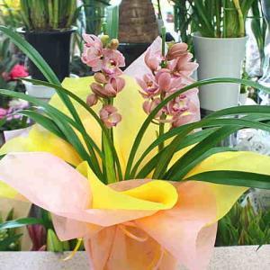 シンピジューム鉢植え 白で清楚です。  〜白系(薄いピンク色)〜 高さ:約80cm 一輪の花のサイズ...
