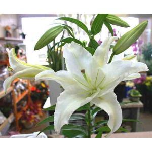 香りのいいユリの鉢植えカサブランカ! 上品な白い花が匂いを放ちながら次々と咲きます! 球根植物で毎年...