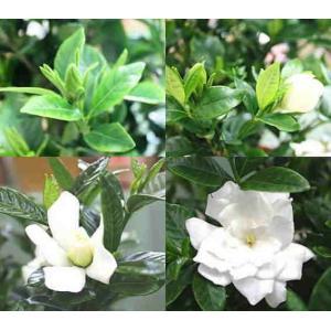 父の日岐阜とにおすすめの鉢花  香りを楽しめ白い花が咲く、くちなし鉢植え  上品な白い花が匂いを放ち...