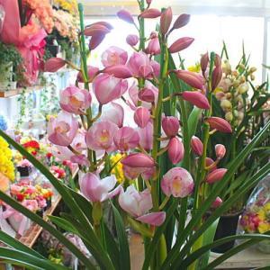 シンビジューム鉢植え ピンク系3本立て「品種はおまかせ」 お祝い・昇進昇格などの花 ギフト 送料無料