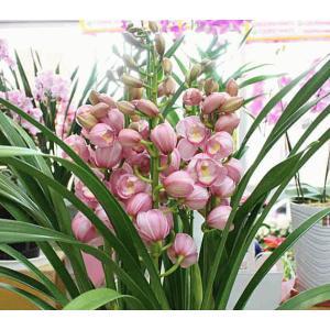 シンピジューム鉢植え ピンク系 おまかせ4本立て 送料無料
