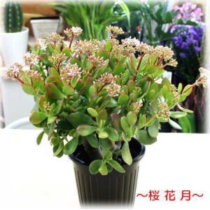 金のなる木 【成金草】 桜花月5号鉢植え 【花付き】