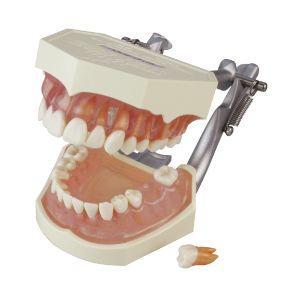 複製歯牙着脱顎模型 d-fit
