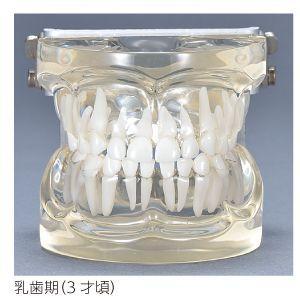 透明乳歯 永久歯交換期模型 乳歯期(3歳頃)|d-fit