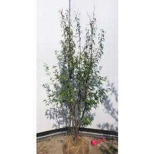ハイノキ 5本株立ち 約1.6m 美樹形株 現品発送 常緑樹 灰の木
