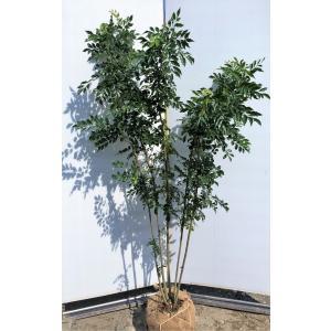 シマトネリコ 5本株立ち 約1.8m 現品発送 特大株 美樹形株 シンボルツリー 常緑樹 送料無料