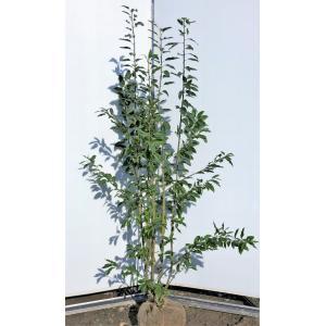 ソヨゴの木 4本株立ち 約1.7m 現品発送 特大株 植木苗木 赤い実が成る木 常緑樹 送料無料