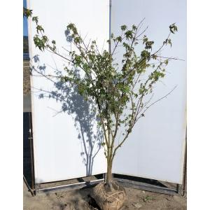 イロハモミジ 株立ち 約1.7m 現品発送 特大株 植木苗木 いろは紅葉 送料無料