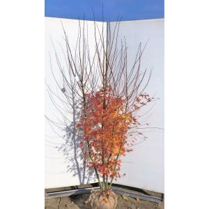 山モミジ 株立ち 約2m 現品発送 特大株 植木苗木 いろは紅葉の原種 送料無料