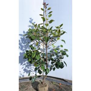 ロドレイアの木 シャクナゲモドキ 約1.7m 現品発送 特大植木苗木 シンボルツリーに 常緑樹 送料...