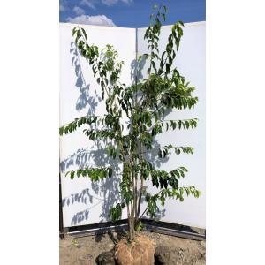 ソヨゴの木 4本株立ち 約2m 現品発送 赤い実が成る木 植木苗木 常緑樹 送料無料