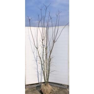 山モミジ 株立ち 約2.7m 現品発送 特大株 植木苗木 いろは紅葉の原種 ヤマモミジ 送料無料