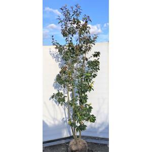 ソヨゴの木 株立ち 約2.5m 現品発送 超特大株 植木苗木 常緑樹 赤い実が成る木 送料無料