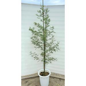 四季咲きミモザの木 デアネイ 約2m 現品発送 鉢植え 超特大株 植木苗木大苗 常緑樹 送料無料