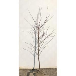 モミジ  出猩々 デショウジョウ 約1.2m 紅葉 大株植木...