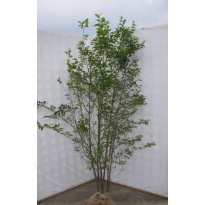 エゴノキ 株立ち 約2.3m 美樹形株