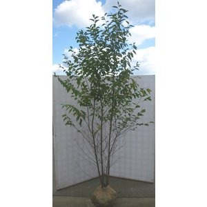 エゴノキ 株立ち 約2.7m 美樹形株