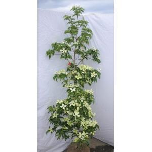 常緑ヤマボウシ 月光 約1.5m 植木苗木 お買得なおまかせ株 ホンコンエンシス 常緑樹 送料無料