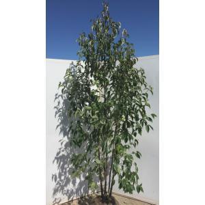 常緑ヤマボウシ ホンコンエンシス 株立ち 約2.5m  特大株