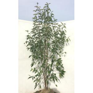 常緑ヤマボウシ ホンコンエンシス 株立ち 約1.8m 実生