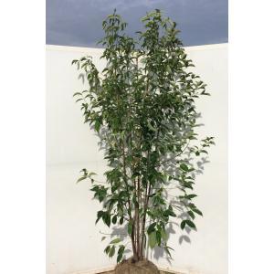 常緑ヤマボウシ ホンコンエンシス 株立ち 約2m 実生