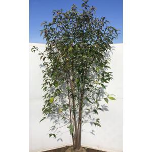 常緑ヤマボウシ ホンコンエンシス 株立ち 約2.3m 実生